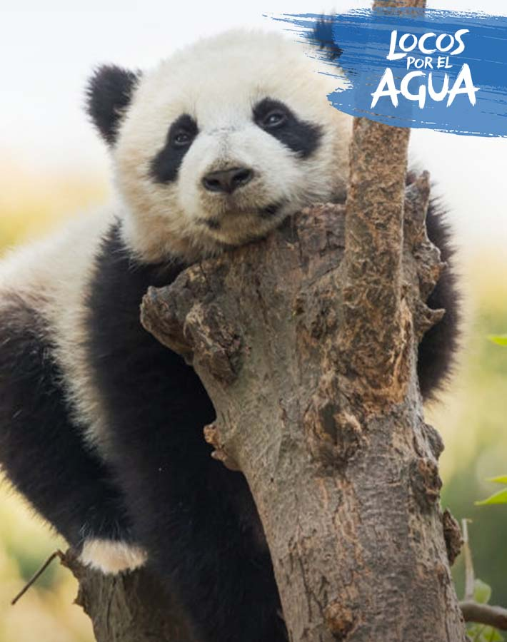 Un panda en un árbol, en su hábitat natural.